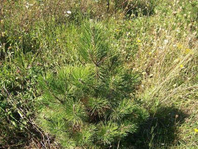 3ft-Austrian-Pine