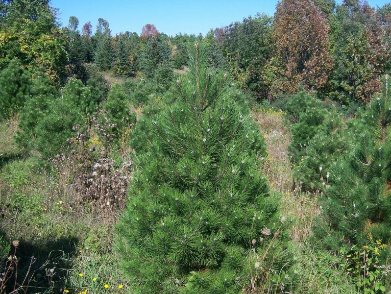 4ft-Austrian-Pine