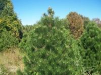 5ft-Austrian-Pine