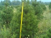 6ft-Austrian-Pine