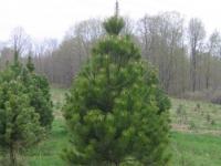 8ft-Austrian-Pine