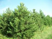 austrian-pine-01