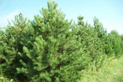Austrian Pine Trees - Pinus Nigra