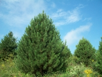 austrian-pine-02