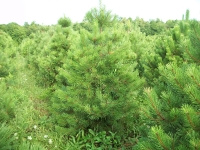 austrian-pine-03