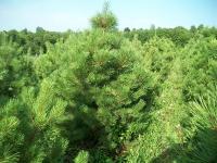 austrian-pine-04