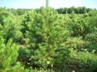 austrian-pine-05