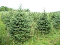 blackhill-spruce-01