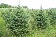 Black Hill Spruce - Picea Glauca Densata