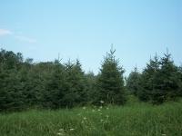 blackhill-spruce-02