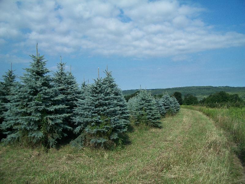 blue-spruce-02