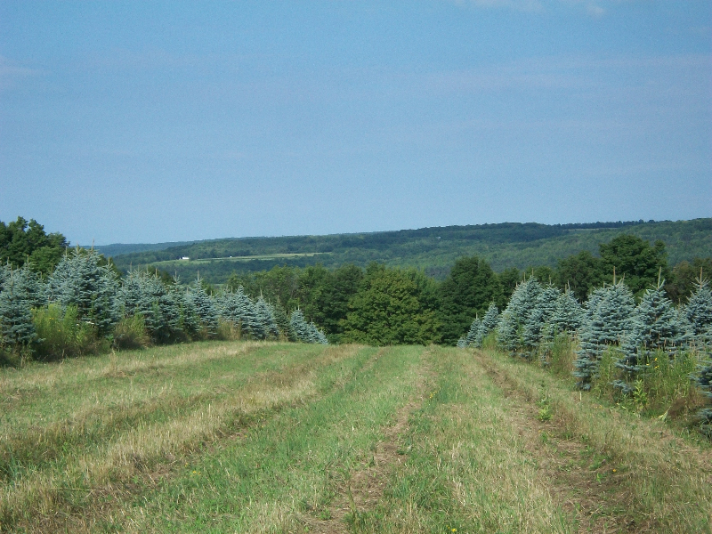 blue-spruce-04