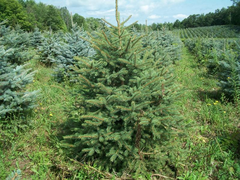 blue-spruce02