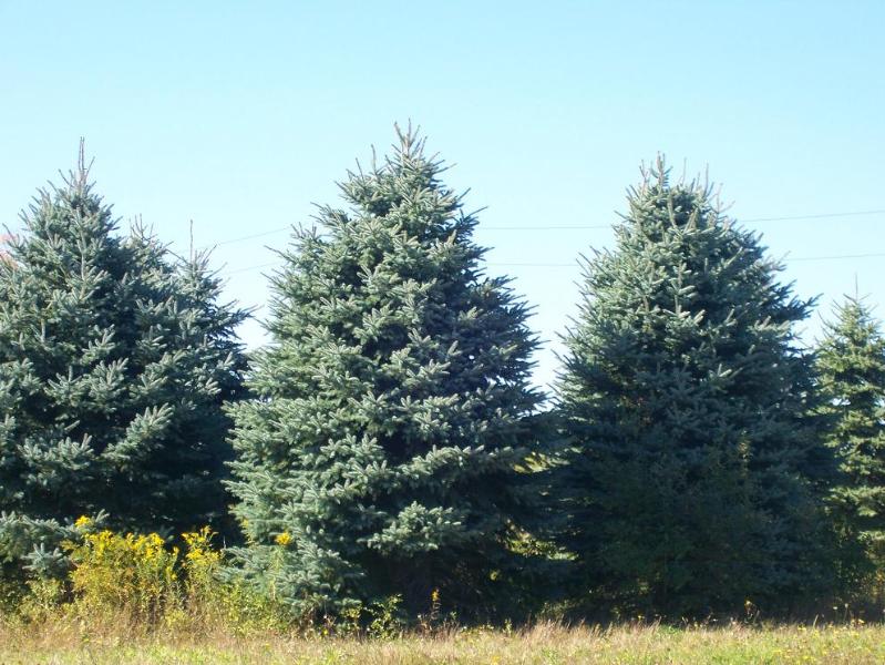 Colorado Blue Spruce 16ft