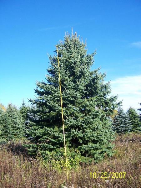 Colorado Blue Spruce 18-20ft