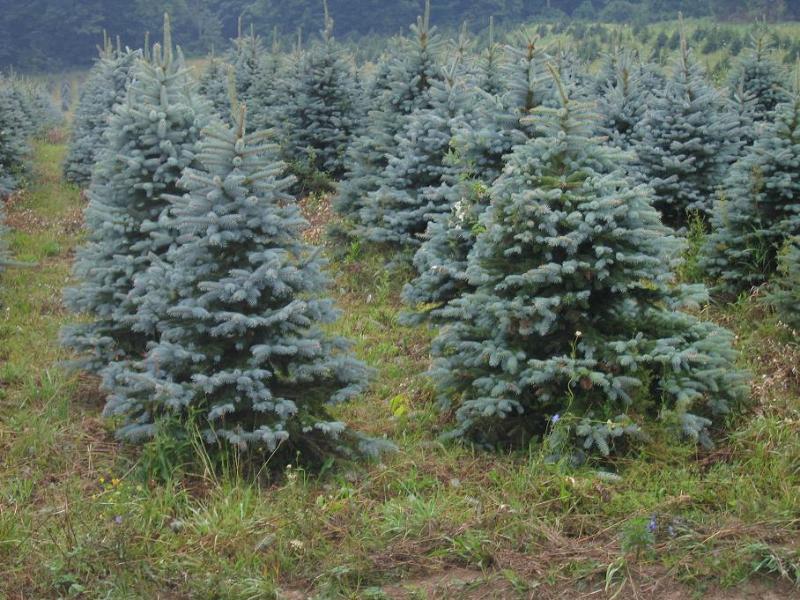 Colorado Blue Spruce 3-4ft