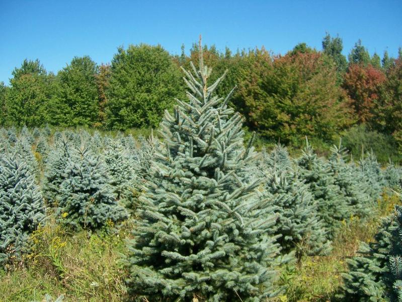 Colorado Blue Spruce 6ft