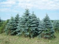 blue-spruce-03