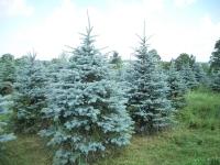 blue-spruce01-2