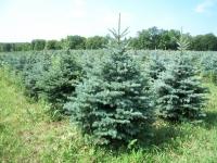 blue-spruce01