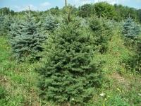 blue-spruce03