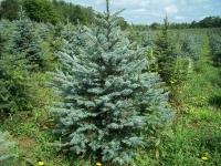 blue-spruce04