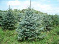 blue-spruce05