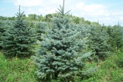 Colorado Blue Spruce - Picea Pungens Glauca