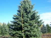 Colorado Blue Spruce 18-20ft
