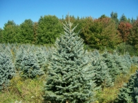 Colorado Blue Spruce 6ft