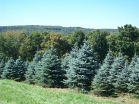 colorado-blue-spruce-01