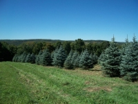 colorado-blue-spruce-02