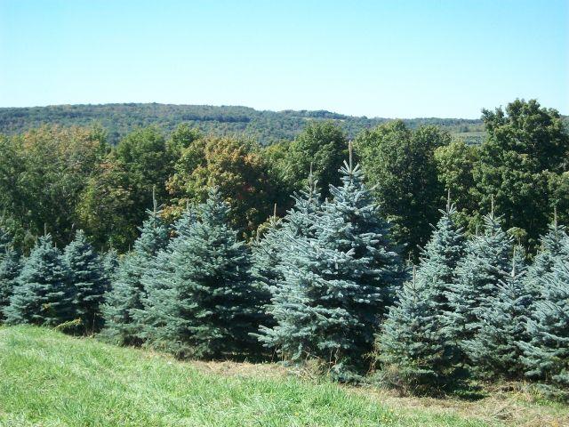 colorado-blue-spruce-01