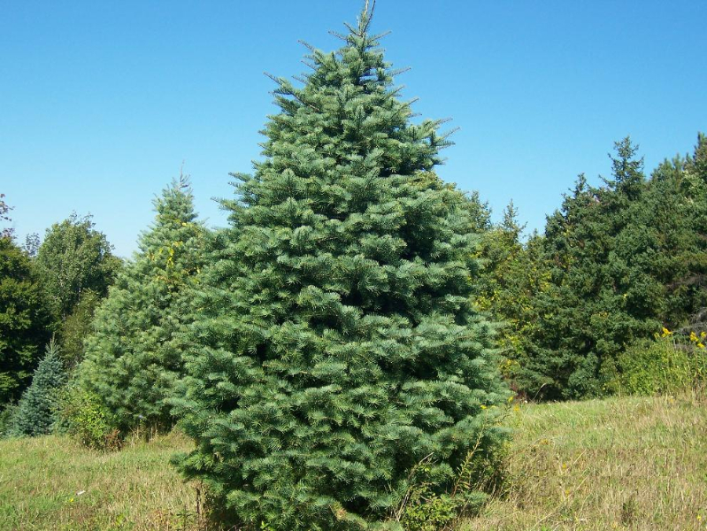 16ft-Concolor-Fir