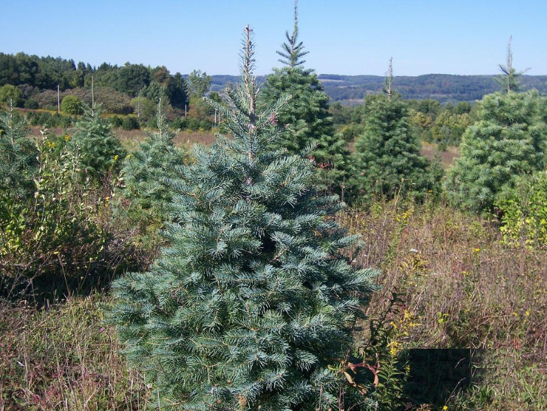 3ft-Concolor-Fir