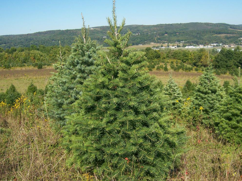 4ft-Concolor-Fir