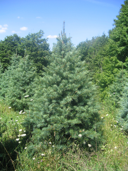 5ft-Concolor-Fir