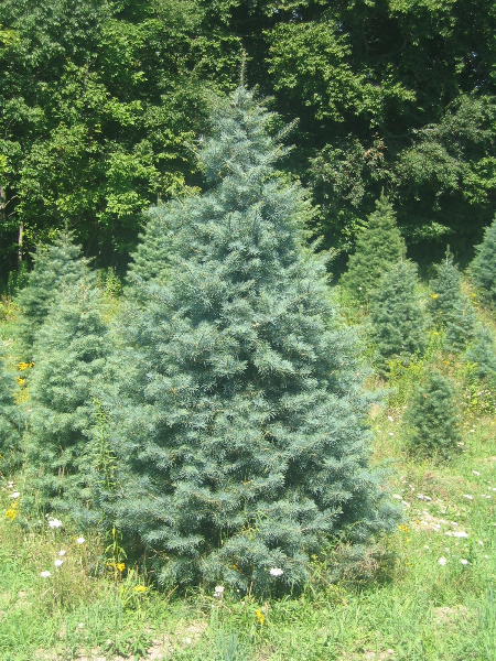 6ft-Concolor-Fir