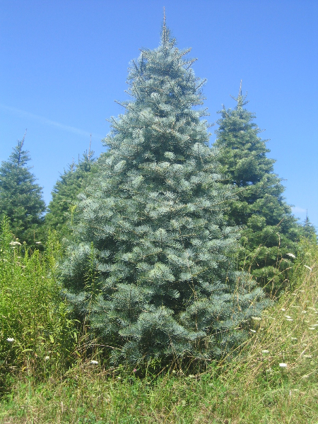 7ft-Concolor-Fir