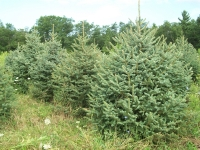 engelmann-spruce-02
