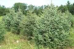 Engelmann Spruce - Picea Engelmannii