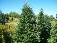 Fraser Fir - Abies Fraseri