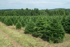 Grand Fir - Abies Grandis