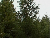natural-larch
