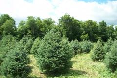 Meyer Spruce Picea Meyer