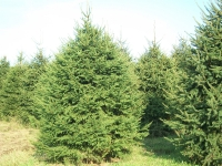 norway-spruce-01
