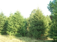 norway-spruce-02