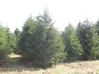 norway-spruce-03