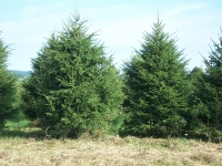 norway-spruce-04