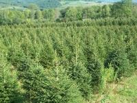 norway-spruce-05